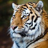 Primer plano de un tigre siberiano también conocido como tigre de Amur (Panthera tigris altaica), el más grande salón ca