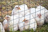 stock photo of chicken-wire  - Domestic free range  - JPG