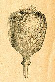 picture of opium  - Opium poppy cut for harvesting opium  - JPG