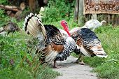stock photo of turkey-cock  - Two male turkey cock on village courtyard - JPG