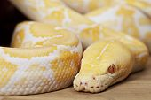 stock photo of albinos  - Portrait of Lavender Tiger Albino python closeup - JPG