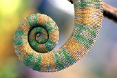 Curly Tail Of Chameleon