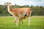 Baby lama sucking milk