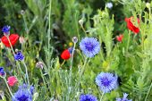 Wildflowers, including poppies and bachelor's buttons