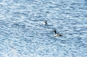 stock photo of great crested grebe  - Swimming couple Great Crested Grebes - JPG