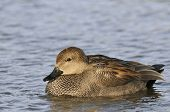 picture of gadwall  - Gadwall Duck - Anas strepera