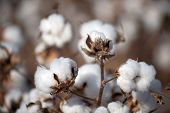 stock photo of texas  - Cotton balls on the plant ready to be harvested, Texas