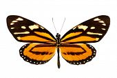 picture of ceres  - Butterfly  - JPG