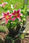 Potted Star Gazer Lily