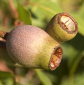 Australian Eucalyptus Corymbia Summer Red Gum Nuts