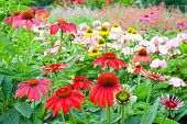 Colorful Echinacea Garden In Summer