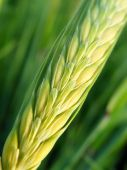 Green Wheat Ear