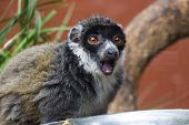Mongoose Lemur With Mouth Open