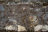 Dead Ivy On Stone Wall