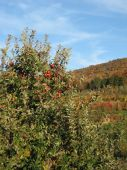 Apple Orchard Hudson River Valley New York