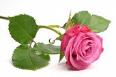 pic of single white rose  - Single pink rose isolated over white background - JPG