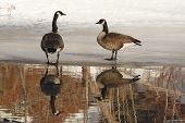 Pair Of Canada Geese Standing On Ice With Reflection