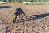 foto of mesopotamia  - Mountain Fox on El Palmar National Park  - JPG