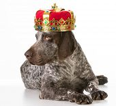 spoiled dog - german shorthaired pointer wearing king crown isolated on white background