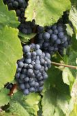 Glowing Red Wine Grapes