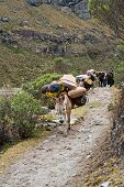 picture of mule  - Mule train in the mountain of the peruvian andes - JPG