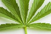 stock photo of photosynthesis  - Cannabis is a genus of flowering plants - JPG