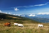 Cows grazing on a green mountain meadow