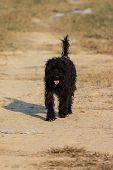 Black Shaggy Dog In Dry Lawn