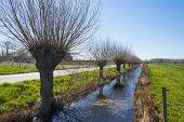 Pollard willows along a river in winter