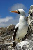 Galapagos bird called Booby