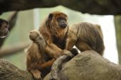 Mother And Baby Howler Monkeys In Tree