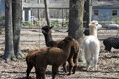 Family Of Alpacas - Vicugna pacos