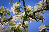 Apple Blooming Branches In Springtime