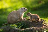 Cute black tailed prairie dog with a youngster (Cynomys ludovicianus)