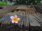 Close Up Of Plumeria Or Frangipanni Blossom On The Old Wood Background.