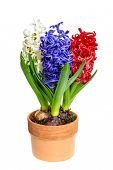Fresh Hyacinth Flowers On White Background