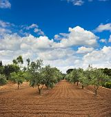 Olive Trees Garden In Provence