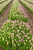 Rows of colorful spring tulips.