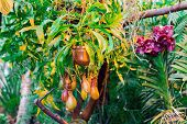 picture of nepenthes  - Nepenthes carnivorous plant family in the greenhouse botanical garden in Moscow - JPG