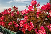 pic of begonias  - Bush of begonia flowers succulent plant with green and brown tender leaves brtanches and trunk - JPG