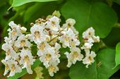 Catalpa Blooming Spring, Macro