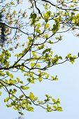 Leaves of dogwood (Cornus florida) and blue sky