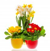 Primulas And Narcissus Blooms In Pots