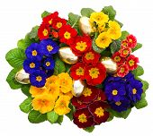Variaty Primula Flowers With Golden Easter Eggs
