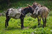 Cute Donkeys Carrying Heavy Supplies Taking A Break