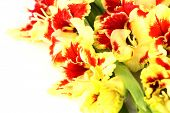 Bright colorful yellow and red gladiolus isolated - horizontal