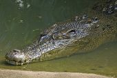 An Australian Estuarine Crocodile