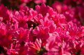 image of azalea  - Flowering pink azalea in park  - JPG