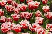 Santa Claus Tulips