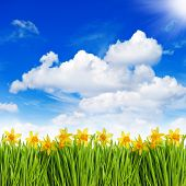 Narcissus Flowers In Grass Over Sunny Blue Sky